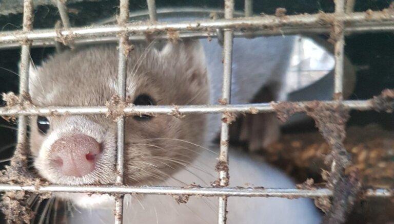 Dzīvnieku tiesību aizstāvji kažokzvēru audzētavā 'Grobiņa' atkal atklāj pārkāpumus