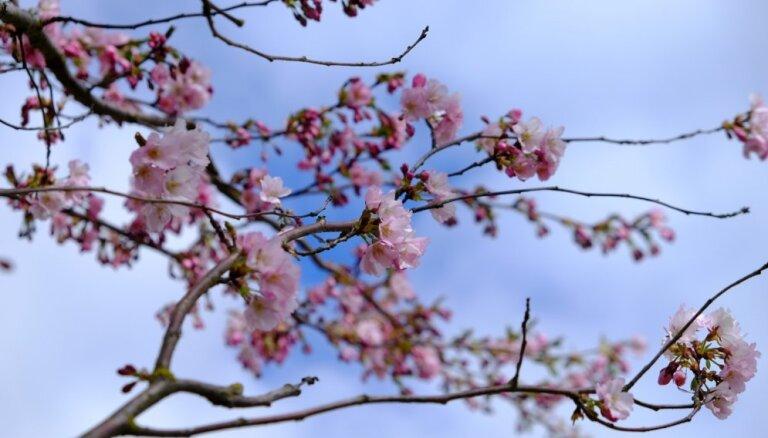 Foto: Uzvaras parkā plaukst sakuras ziedi
