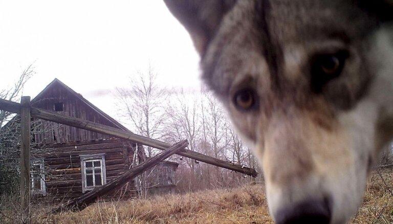Šajā medību sezonā jau nomedīti 16 lūši un 152 vilki
