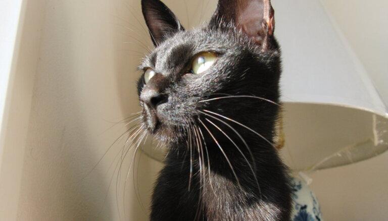 Maz izplatītās un neatzītās kaķu šķirnes (2. daļa)