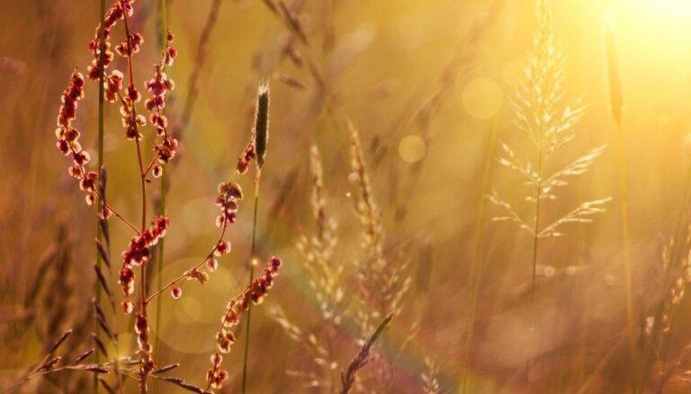 Gaisā joprojām daudz graudzāļu ziedputekšņu – alerģiskajiem jāuzmanās