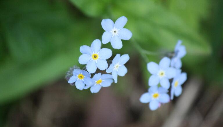 Ziedi debeszilā krāsā – kā dārzā audzēt neaizmirstulītes