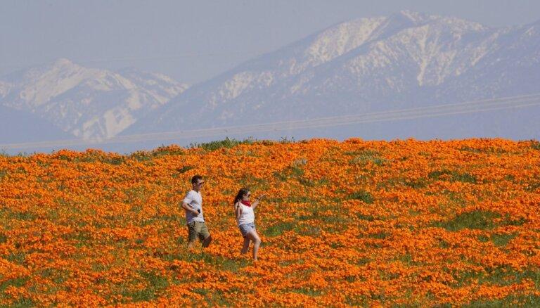 Tūristu iecienītie Kalifornijas magoņu lauki pilnā plaukumā; skatu aicina vērot tiešsaistē