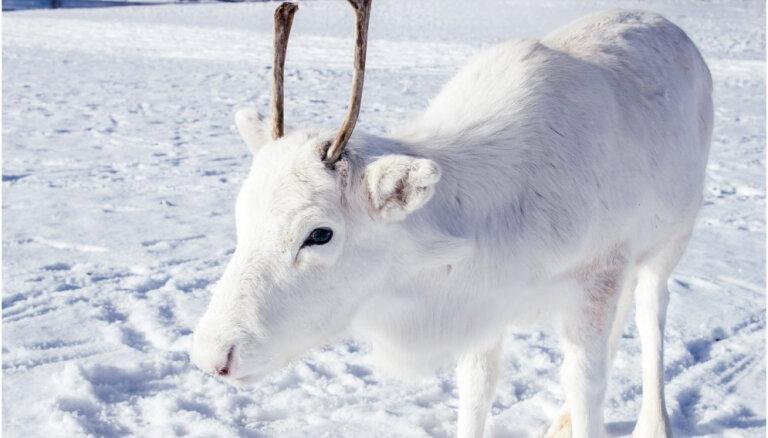 Foto: Reti sastopamais Baltais ziemeļbriežu mazulis rotaļājas sniegā