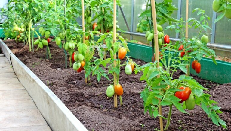 Alūksnē no siltumnīcas nozog tomātus
