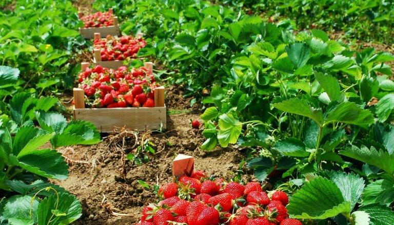16 клубничных полей в Латвии, где можно собрать ягоды своими собственными руками