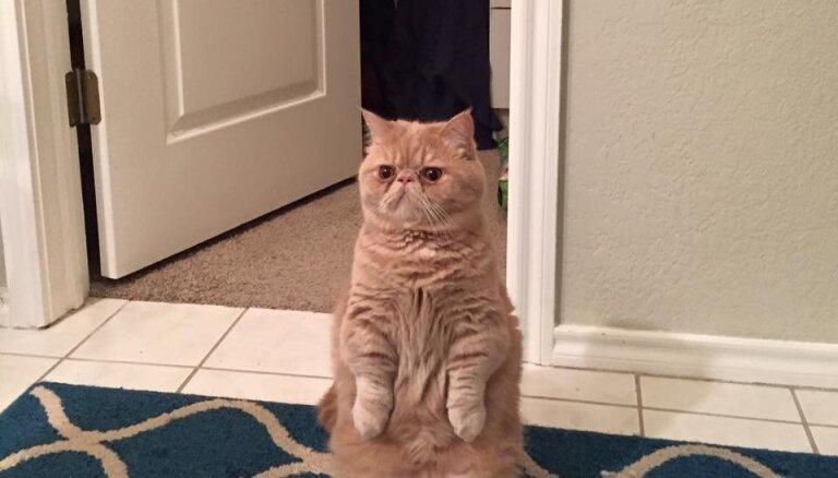 Pakaļkāju Džordžs – ziņkārīgais kaķis, kas sēž kā surikats