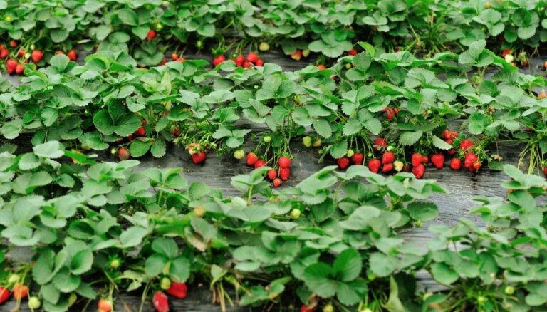 Pašiem savas zemenes – labākās šķirnes audzēšanai uz plēves