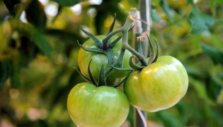 Gatavojamies tomātu sējai! Padomu ābece sēšanā un brangas ražas izlološanā