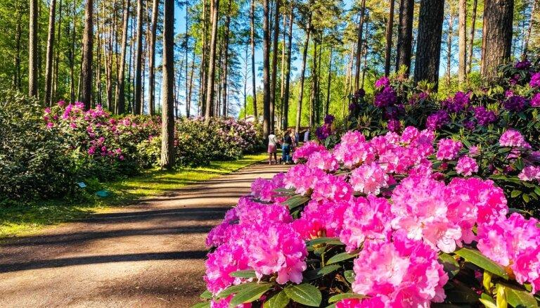 Foto: Sāk ziedēt Babītes rododendri