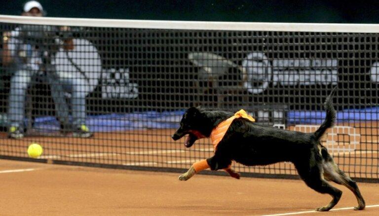 Sanpaulu 'Open' tenisa turnīrā par bumbiņu padevējiem piestrādā patversmes suņi