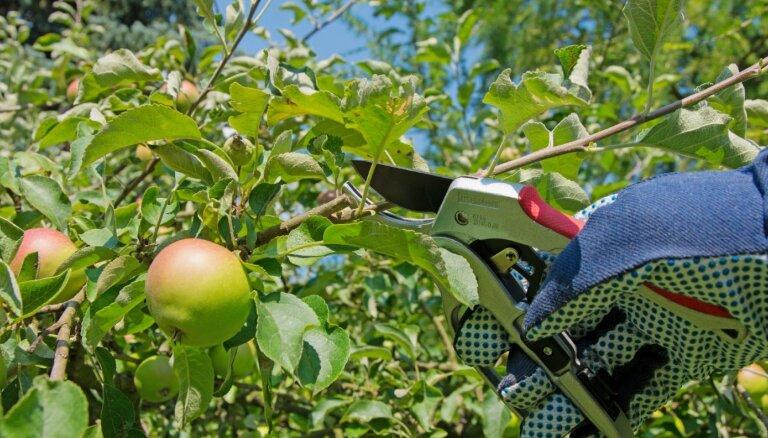 Neatliekami darbi augļu un ogu dārzā augustā