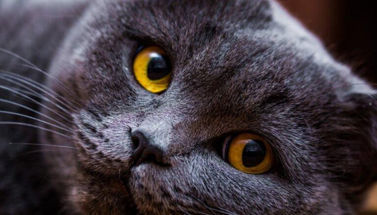 Sešas klusas kaķu šķirnes, kas saimniekam netraucēs