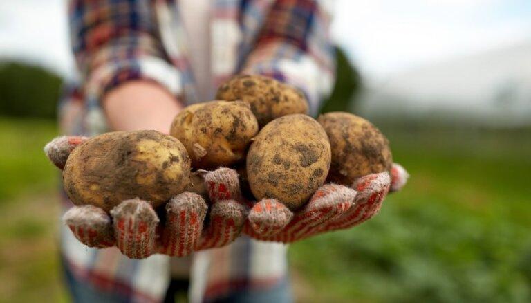 Lielais kartupeļu šķirņu saraksts un padomi stādīšanā