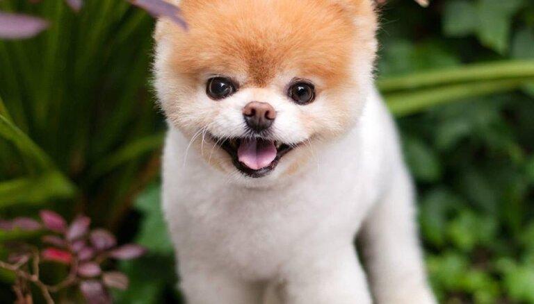 12 gadu vecumā miris Bū – piemīlīgākais suns pasaulē