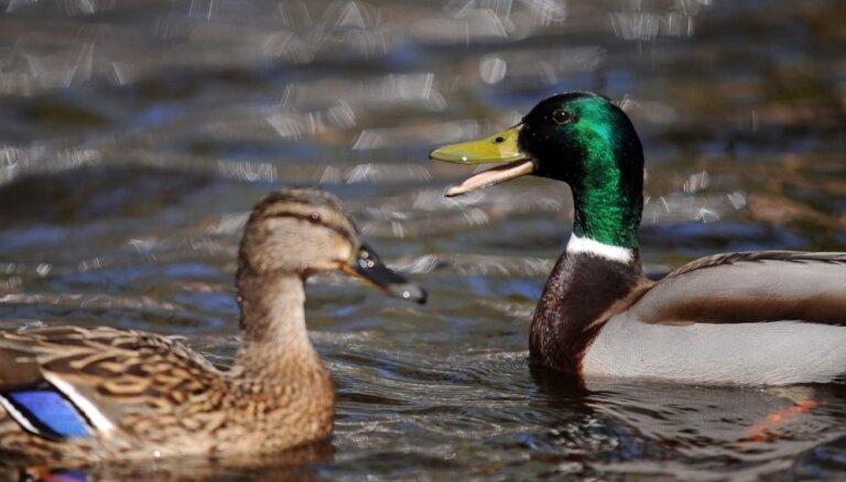 В Таллиннском зоопарке обнаружен штамм птичьего гриппа H5N8