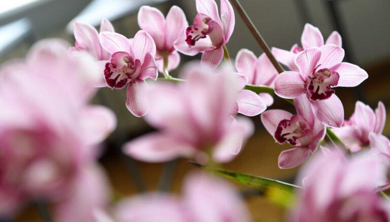 Foto: Zilas, raibas un punktainas – eksotiskās orhidejas Dabas muzejā