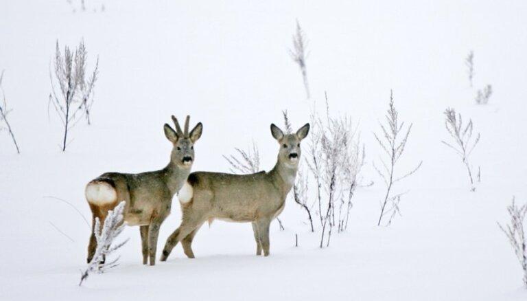 Новая опасность на дорогах Латвии: животные выходят, чтобы лакомиться солью