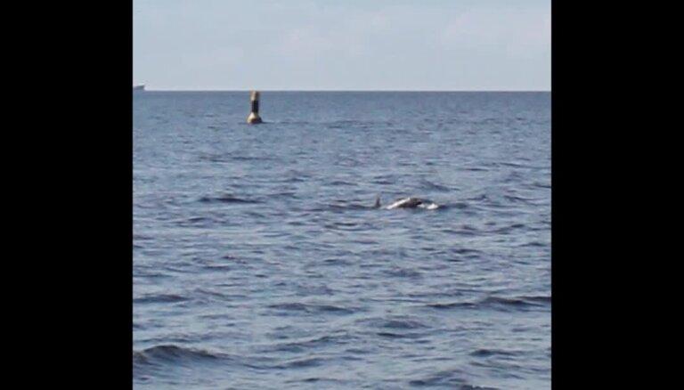 Video: Mangaļsalas delfīns uznirst pie bākas
