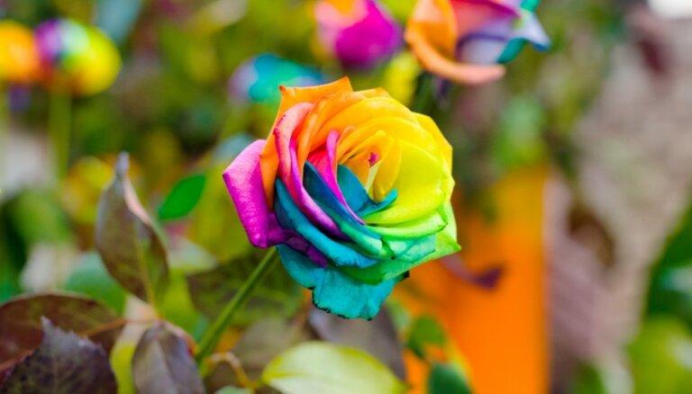 'No puķēm vismīļākās man rozes' – uzzini katras rozes krāsas simbolisko nozīmi
