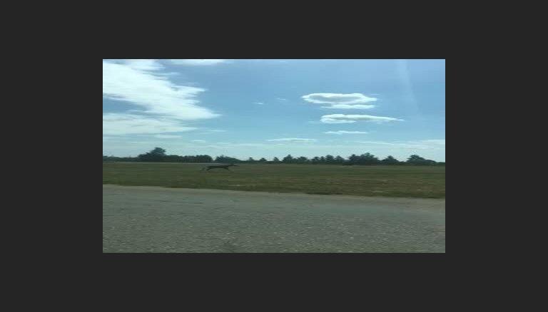 Video: Jēkabpilī pāri ceļam pārskrien alnis