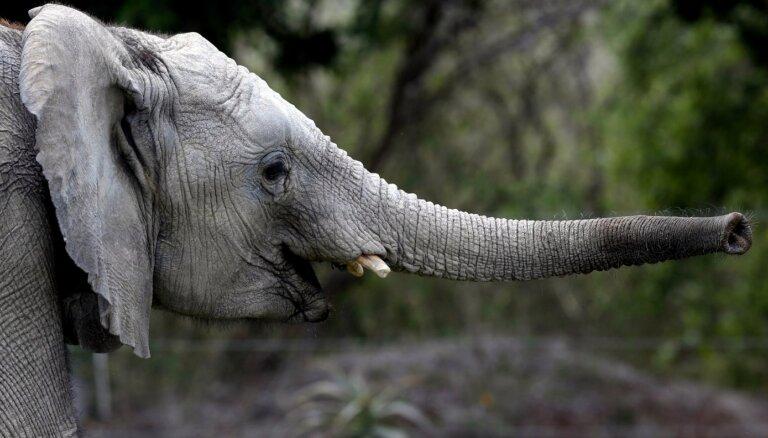 Namībija vides aizsardzības vārdā pārdod 170 ziloņus