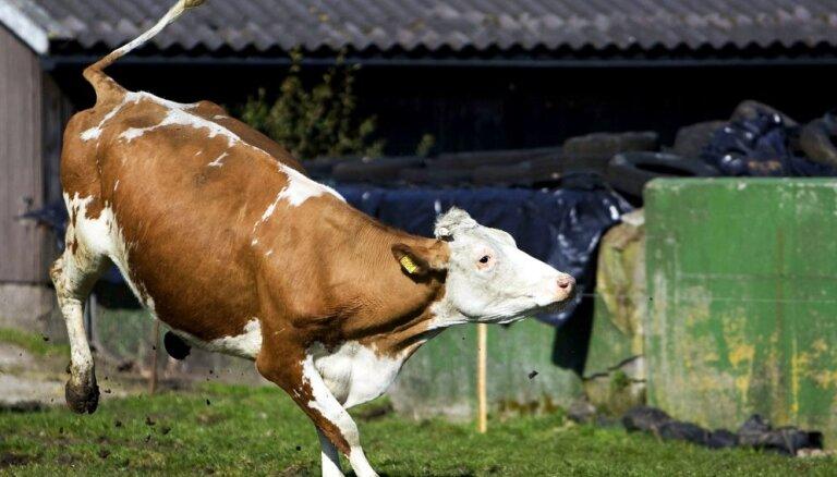Saimniecība 'Vecsiljāņi' plāno ieguldīt 1,13 miljonus eiro piena liellopu novietnē un kūtsmēslu krātuvē