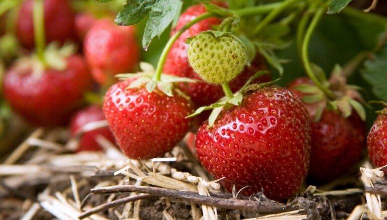 Чем удобрять клубнику весной для лучшего урожая