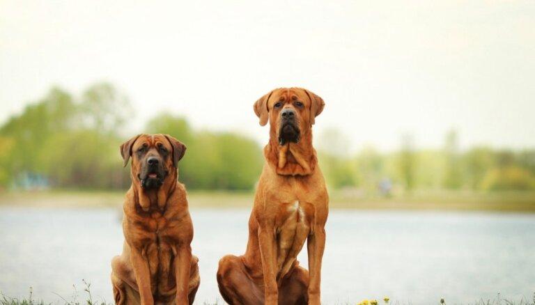Sumo cīkstonis tosa – spēcīgais japāņu suns, kuru daudzās valstīs aizliedz