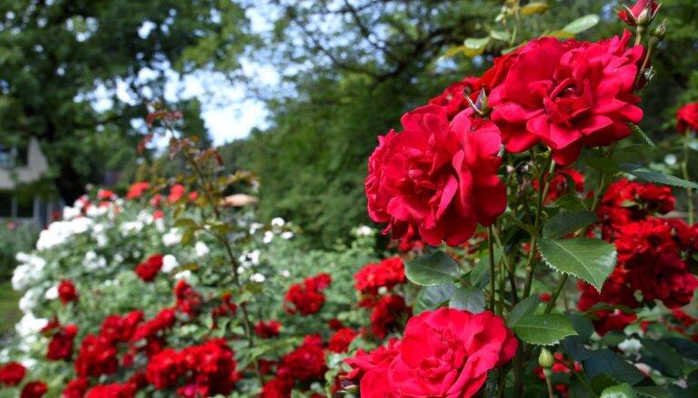 Vasaras pilnbrieds: fotopastaiga pa ziedu bagāto LU Botānisko dārzu
