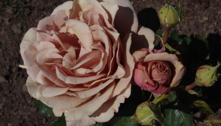 Foto: Karaliskās rozes, kas šovasar papildinājušas Rundāles pils dārzu