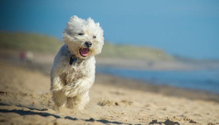 Nerimstošās 'taures' – trauksmaini suņuki, kuru rejas dzirdēsi bieži