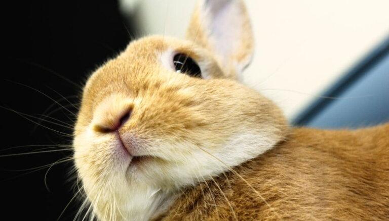 Почему карликовых кроликов нельзя кормить капустой? Все, что нужно знать владельцу длинноухого