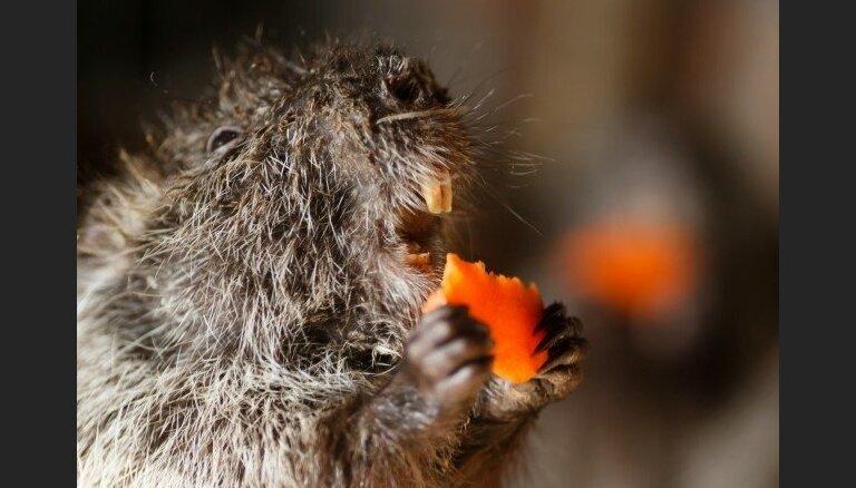 Крысы стали первым существом, вымершим из-за климатической катастрофы