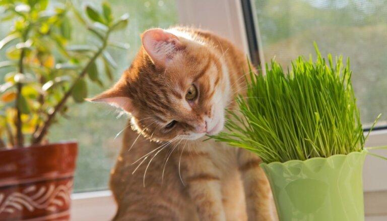 Vai zāles ēšana kaķim ir veselīga? Skaidro eksperts