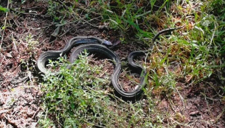 Aculiecinieks mežā pamana nepazīstamu čūsku; speciālists – tas ir zalktis