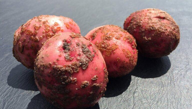 Kartupeļu kraupis – kā cīnīties ar šo slimību