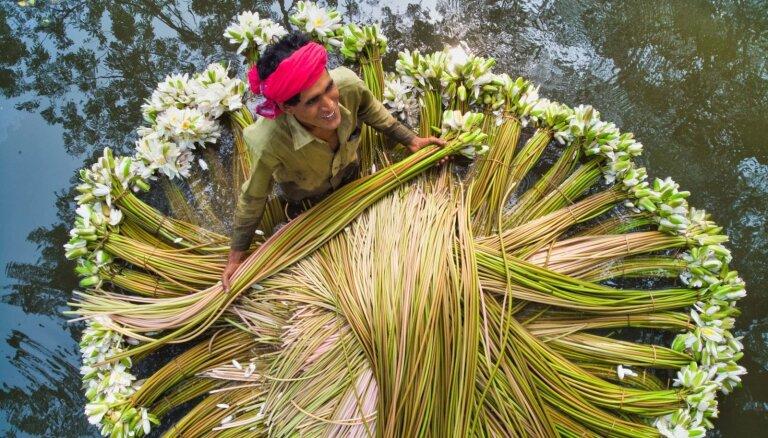 Dienas ceļojumu foto: ūdensrožu vākšana Bangladešā