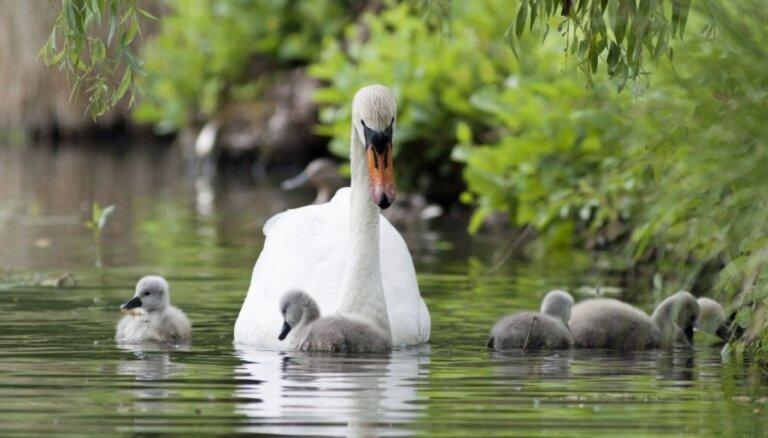На портале Manabalss.lv начат сбор подписей против кормления птиц в Риге