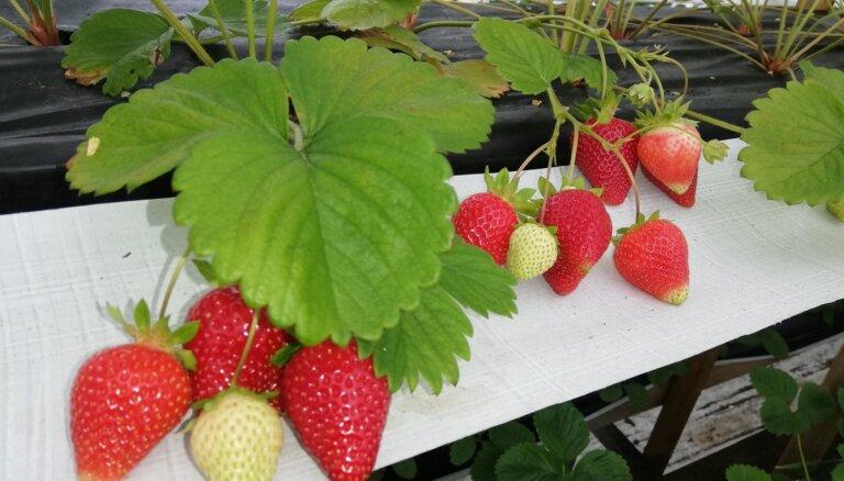 Zemnieku saimniecībā Latgalē novākta bioloģisko zemeņu raža