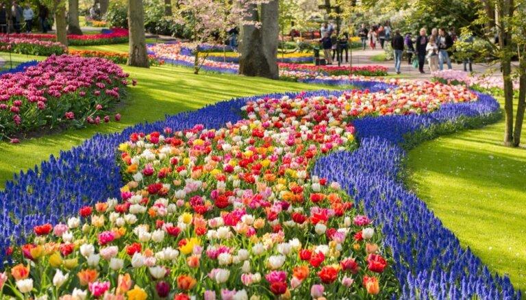 Pavasara ziedu paradīze: Keukenhofas dārzs Nīderlandē