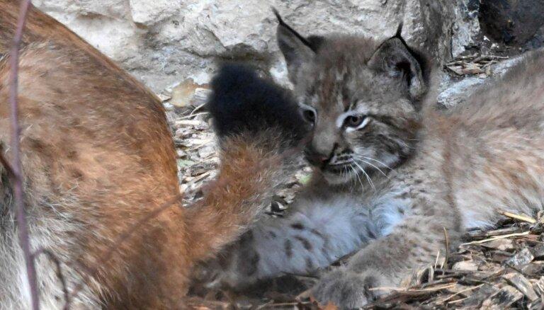 ФОТО. В Рижском зоопарке можно полюбоваться на маленьких рысят