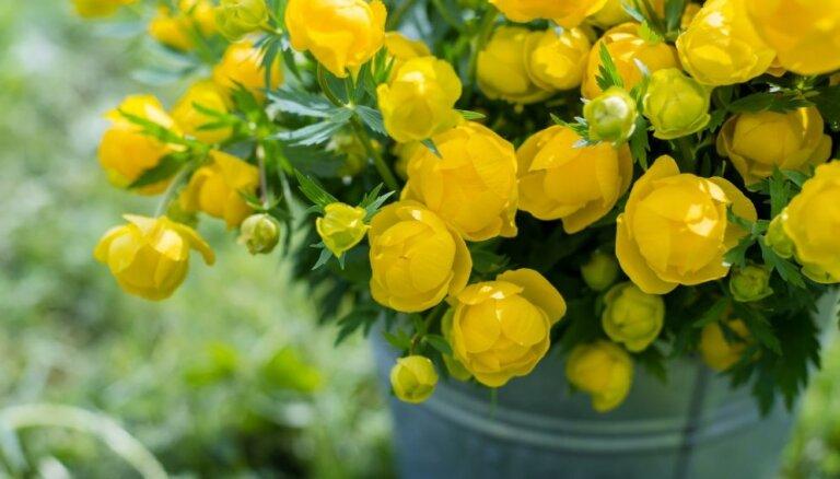 Pļavu karalienes pavasarī – Eiropas saulpurenes jeb sviesta pikas
