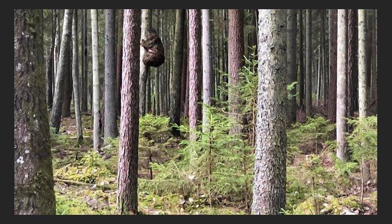 Медведь на дереве или нарост? Latvija valsts meži опубликовали вирусное фото