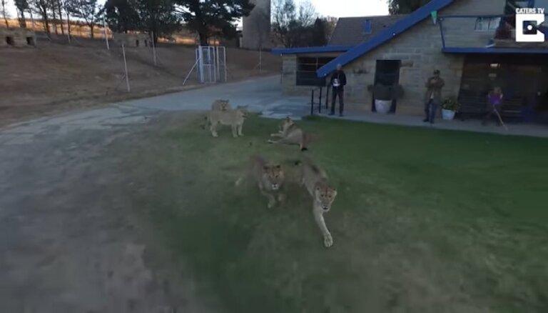 Neparasts video: Kā seši mazi lauvēni dronu tvarstīja