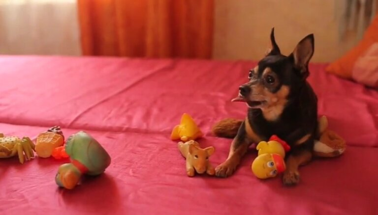 Četrkājainais inteliģents - toiterjers Zirnis atpazīst 20 dažādas rotaļlietas