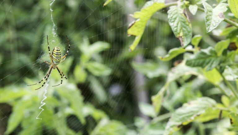 Zirneklis dārzā: ienaidnieks vai draugs?