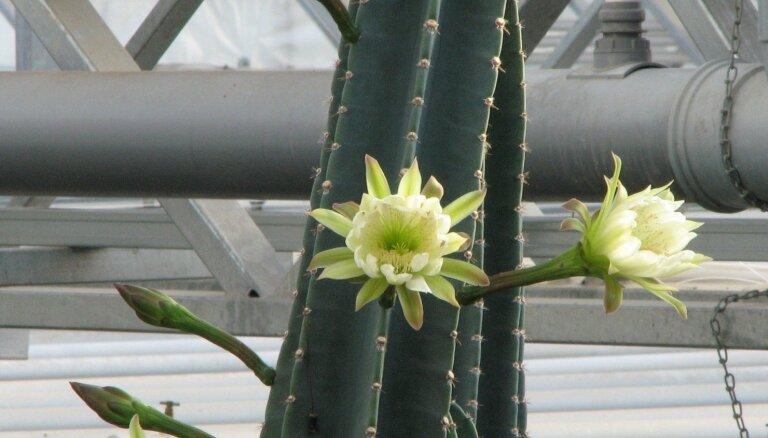 Foto: Nacionālajā botāniskajā dārzā pirmo reizi uzziedējis Latvijā garākais kaktuss