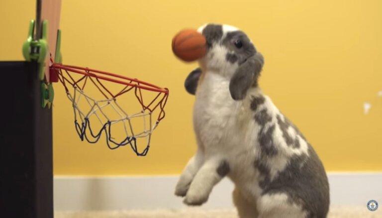 Jaunais Maikls Džordans – Ginesa pasaules rekordu grāmatā iekļuvis trusītis, kas spēlē basketbolu