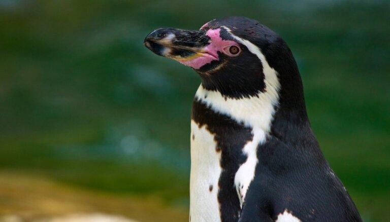 Пчелы до смерти закусали редких пингвинов в Африке